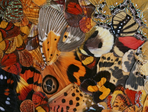 Nathalia Edenmont, Vortex, 2011, Collage of butterfly wings, 14 1/4 x 13 inches