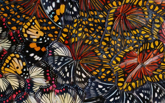 Nathalia Edenmont, Singularity (collage), 2011, Collage of butterfly wings, 3 x 5 .5 inches
