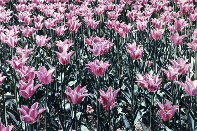CB12r5_pink_tulip.jpg