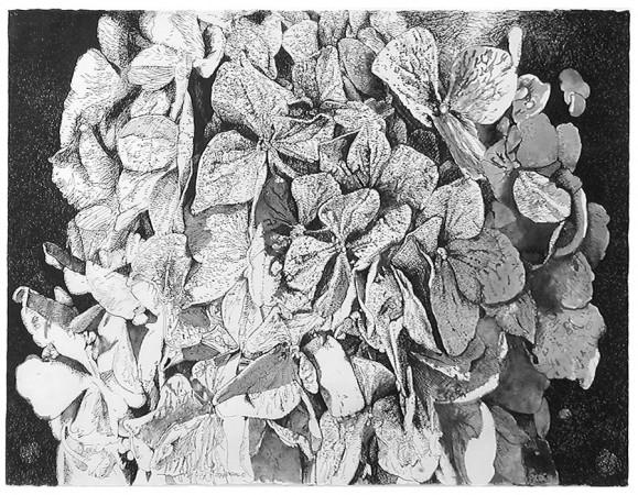 Joseph Raffael, Hydrangea, 1975 ink on paper 22 x 30 inches