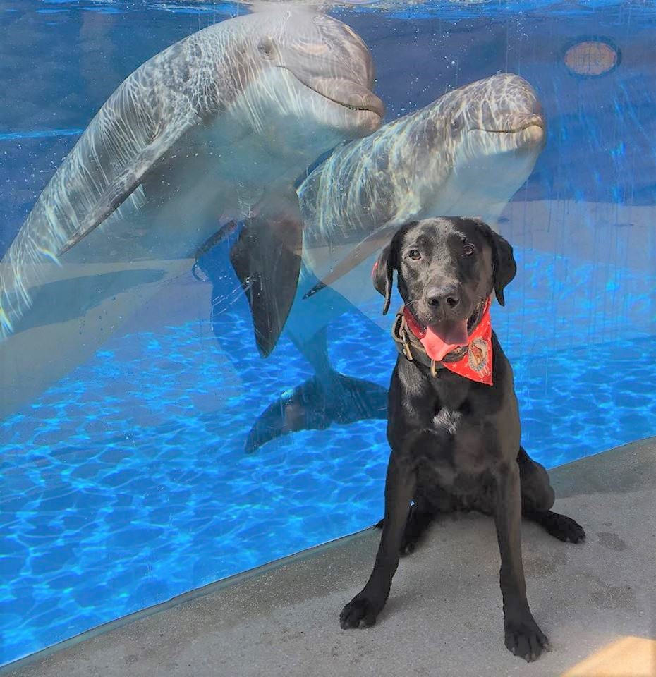 K-9 Kirby - Specialty: Explosive and Firearm DetectionBreed: Labrador RetrieverBirthdate: April 27, 2015Birthplace: Mora, MinnesotaColor: BlackWeight: 67 PoundsCertification: National Police Canine AssociationFood: NutriSource, PerformanceHometown: Saint Cloud, Minnesota