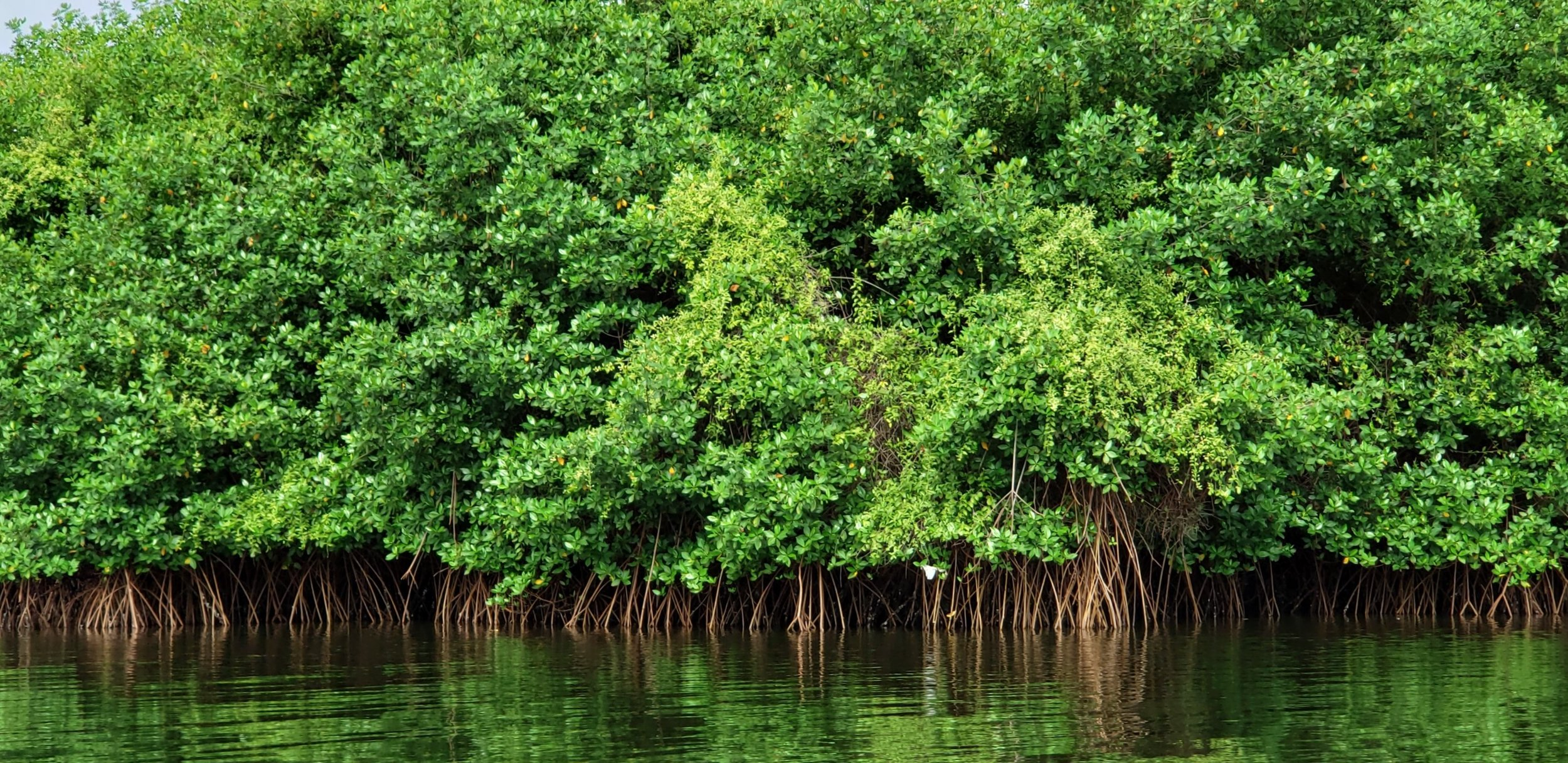 Socio Manglar aims to incorporate at least 100,000 hectares of Ecuador's remaining mangroves in the program within four years.