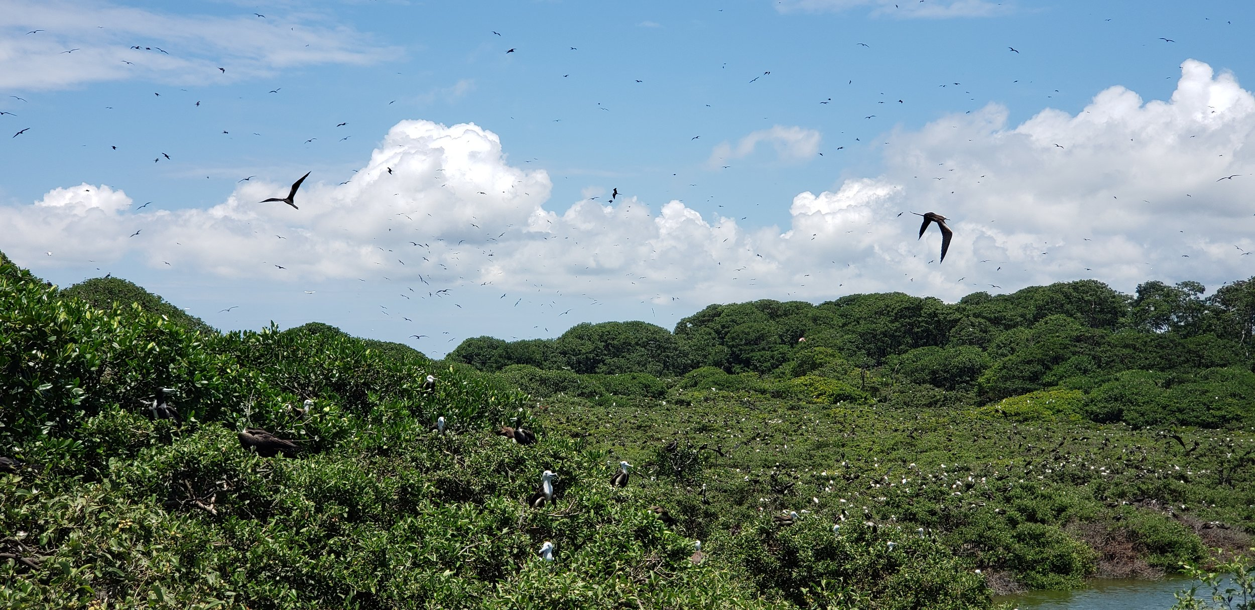 The El Morro Mangrove Wildlife Refuge is rich in biodiversity and includes a massive concentration of frigate birds.
