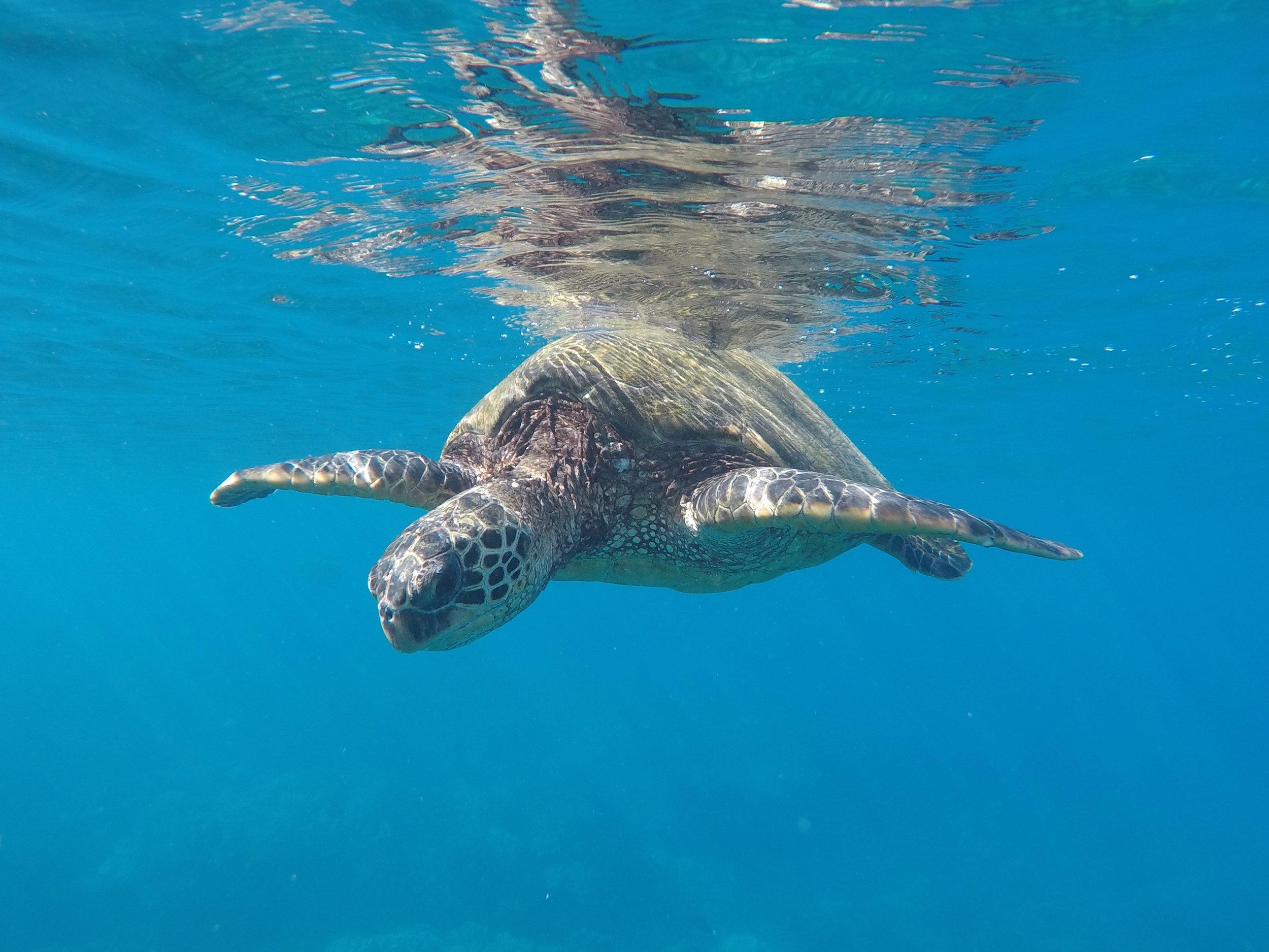 Blue Soul Maui, Maui, Private Tours, Maui Private Tours, Outrigger Canoe, Outrigger Canoe Tour, Paddle Adventure, Canoe Surfing, Green Sea Turtle, Sea Turtle, Outdoor Adventure