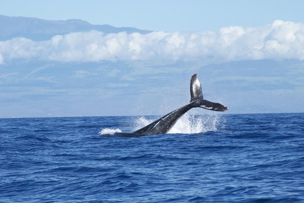Blue_Soul_Maui_Outrigger_Canoe_Whale_Watch_2.jpg