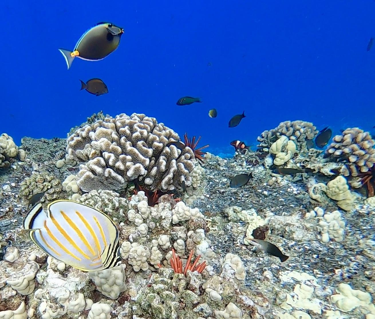Blue_Soul_Maui_Snorkeling_Fish_4.jpg
