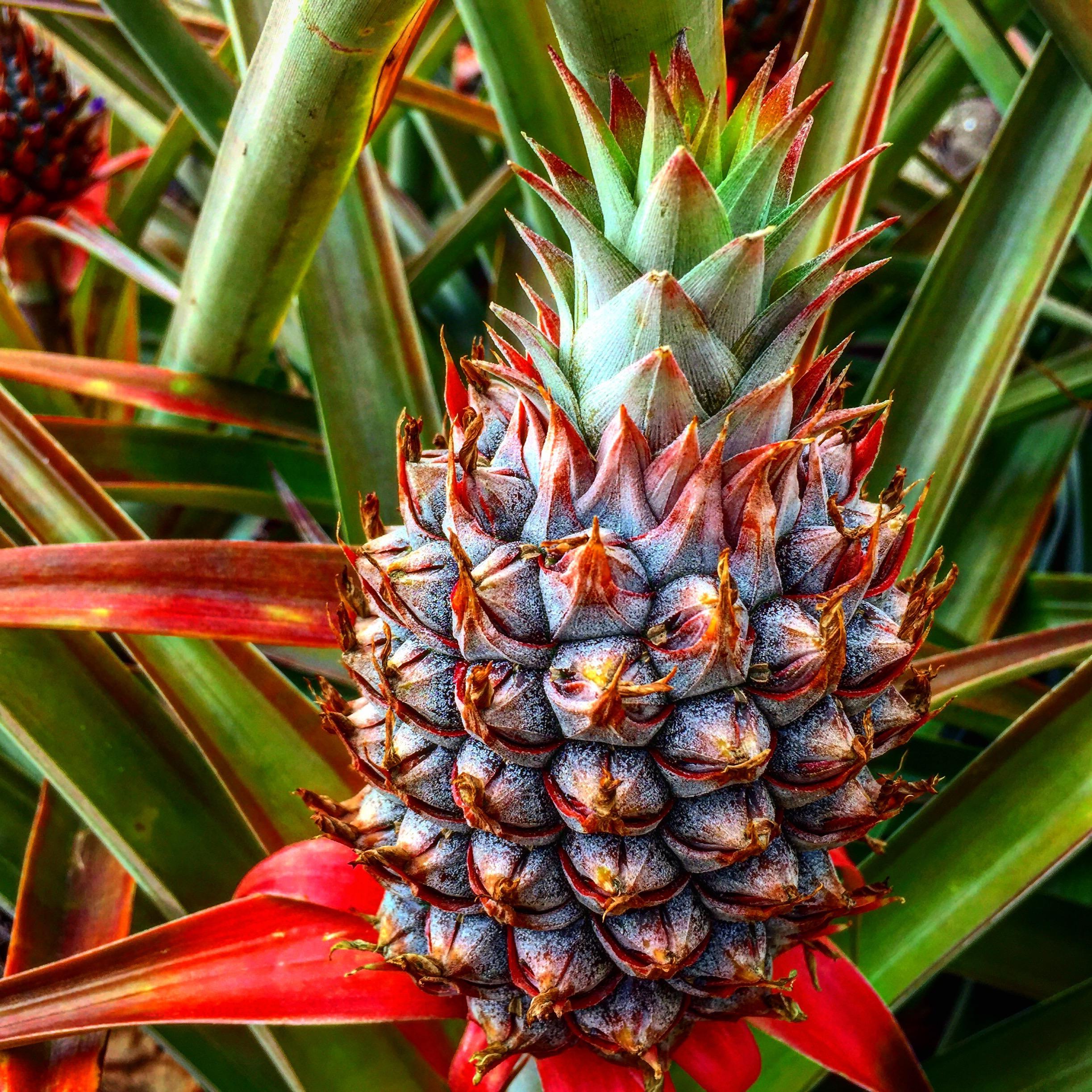 Blue_Soul_Maui_Private_Tour_Pineapple.jpg
