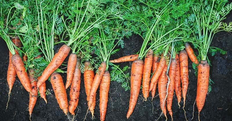 Growing-Carrots-The-Beginners-Guide-to-Raising-an-Amazing-Crop-of-Carrots-FI (1).jpg