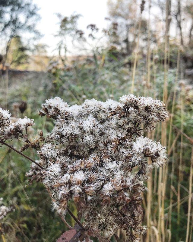 Brrrrr. Frost on Solidago. #helianativenursery #Frosty #winteriscoming