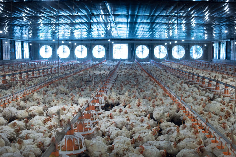 GlobalTech avícultura