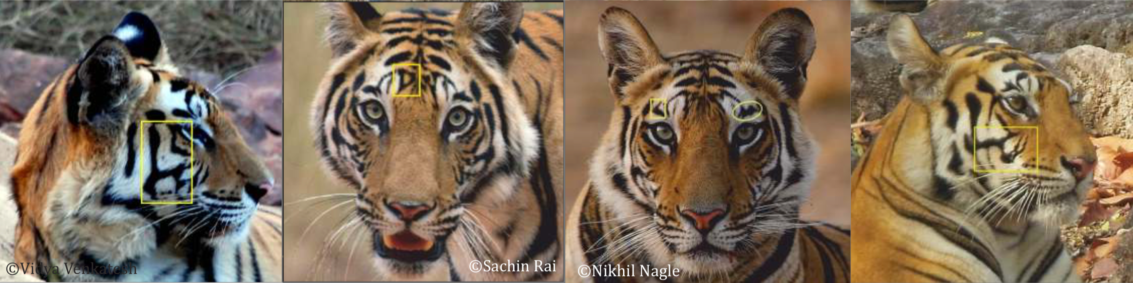 Distinguishing marks in the faces of tigers. Source: The Last Wilderness