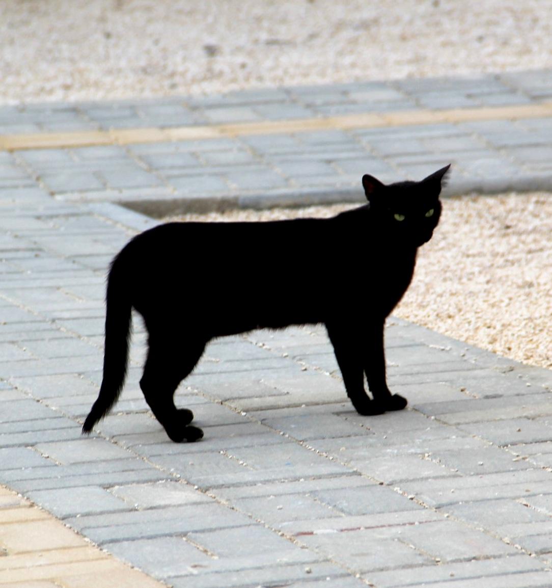 Bagheera the Cat. Film City, Zekreet, Qatar. Photo taken by: Tyanna LC