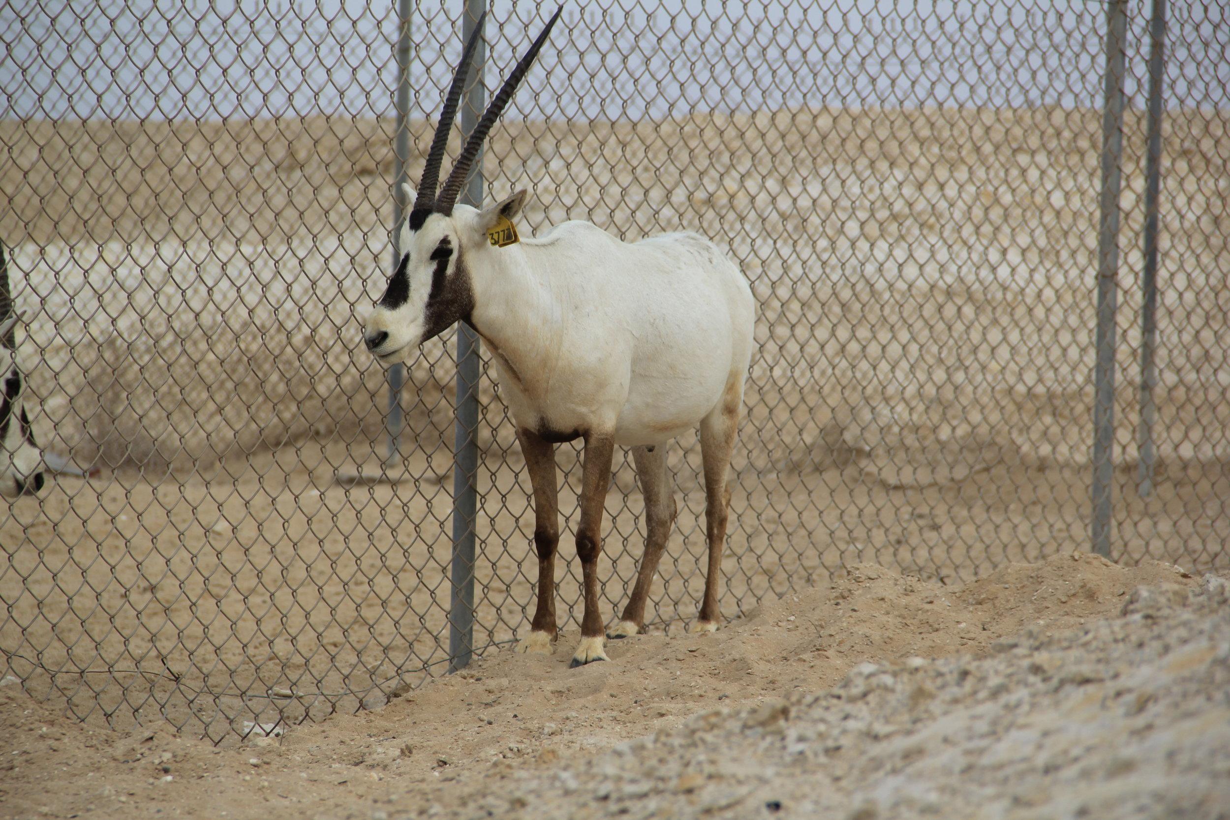 Wallace the Oryx. Film City, Zekreet, Qatar.
