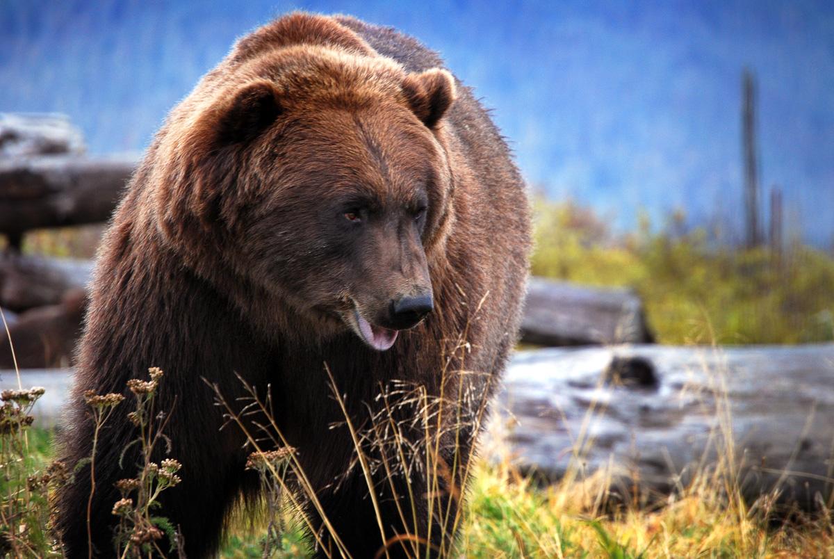 nature-wildlife-bear-alaska-1.jpg