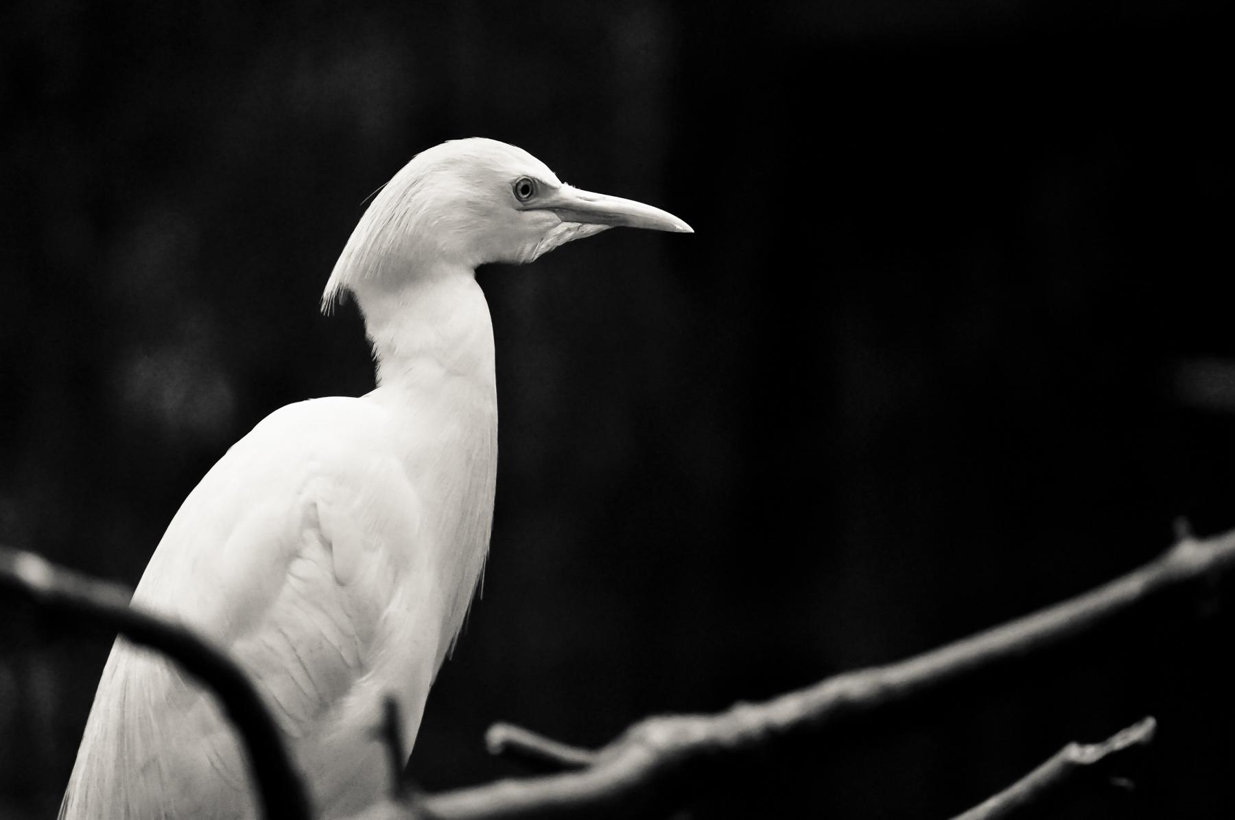 nature-wildlife-bird-egret.jpg