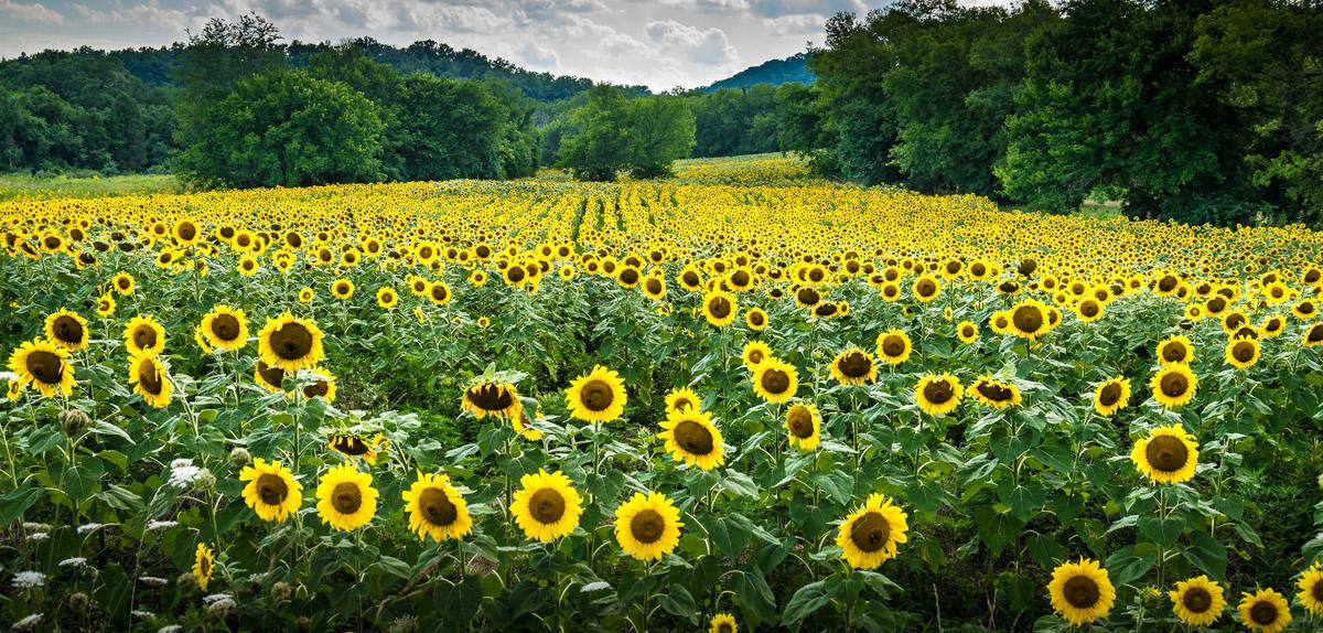 nature-landscape-travel-sunflowers-1.jpg