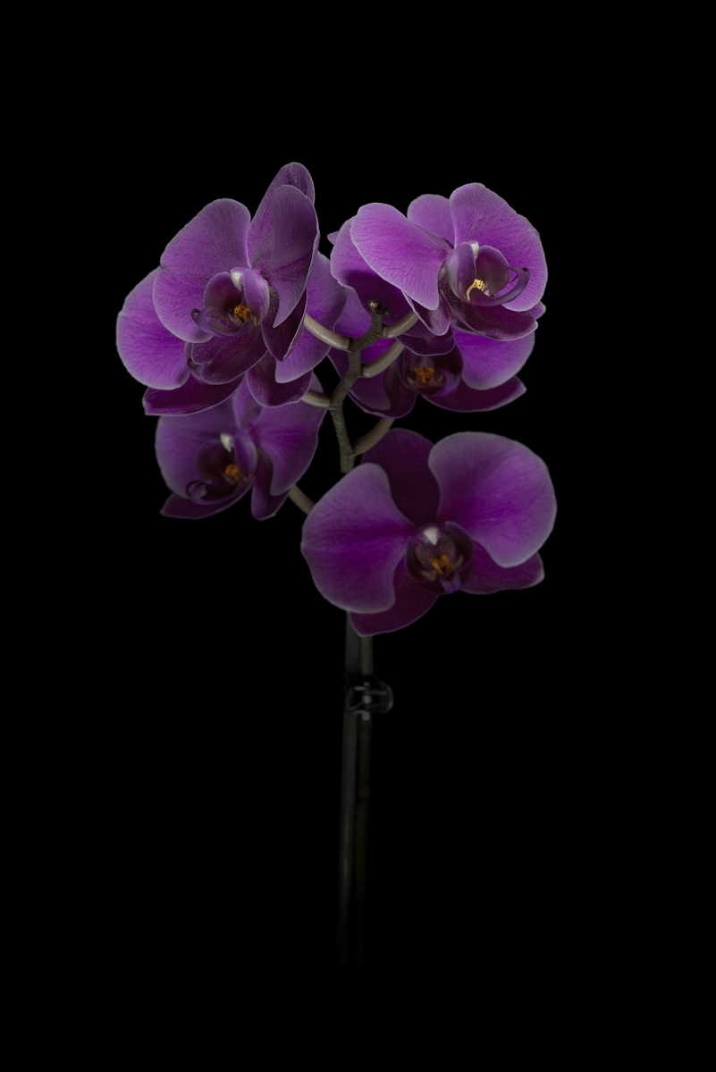 product-advertising-fineart-orchid-2.jpg