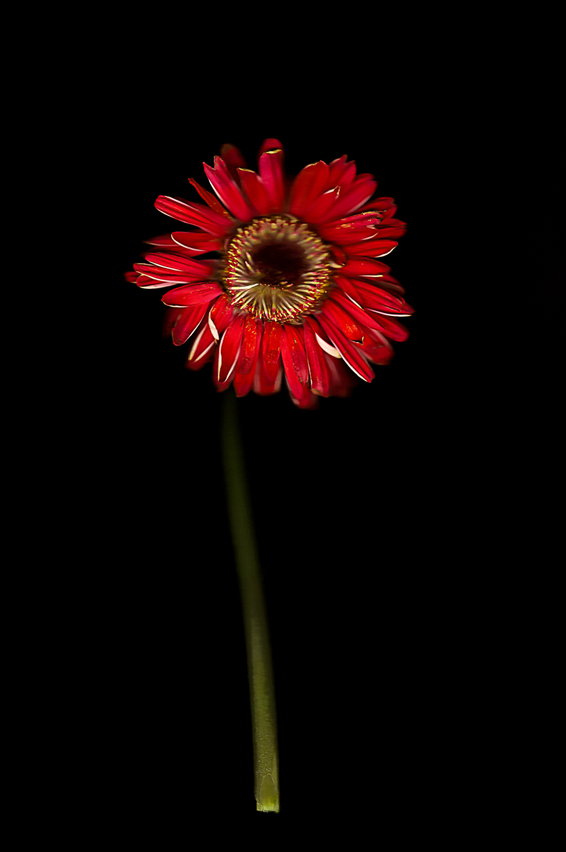 fineart-flower-red-1.jpg