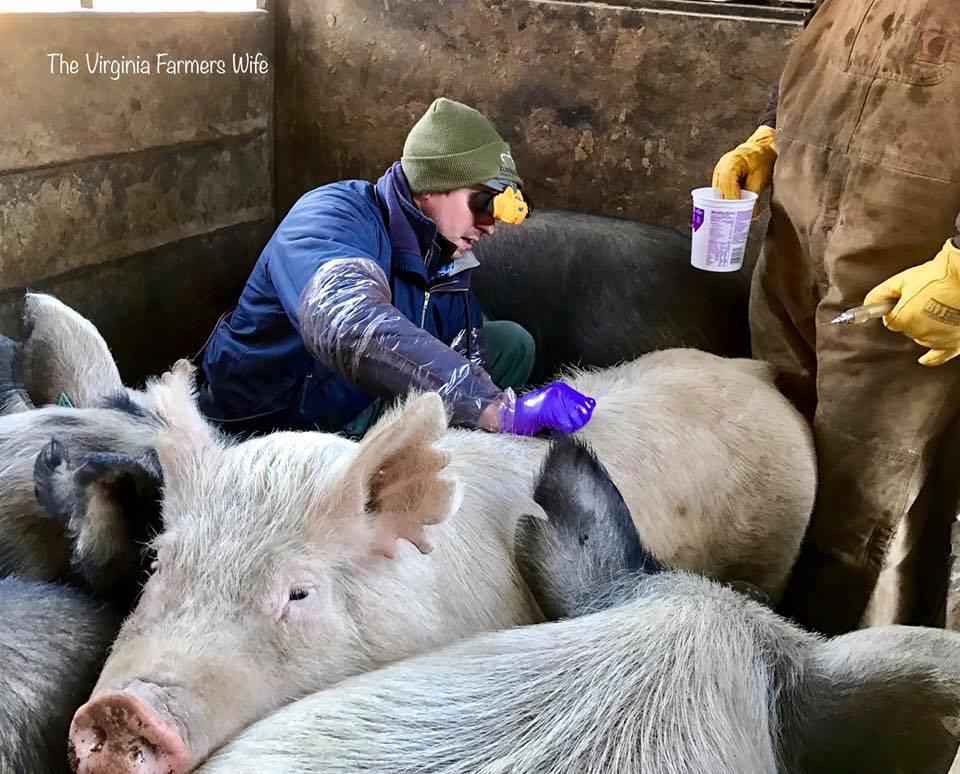scanning a sow.JPG