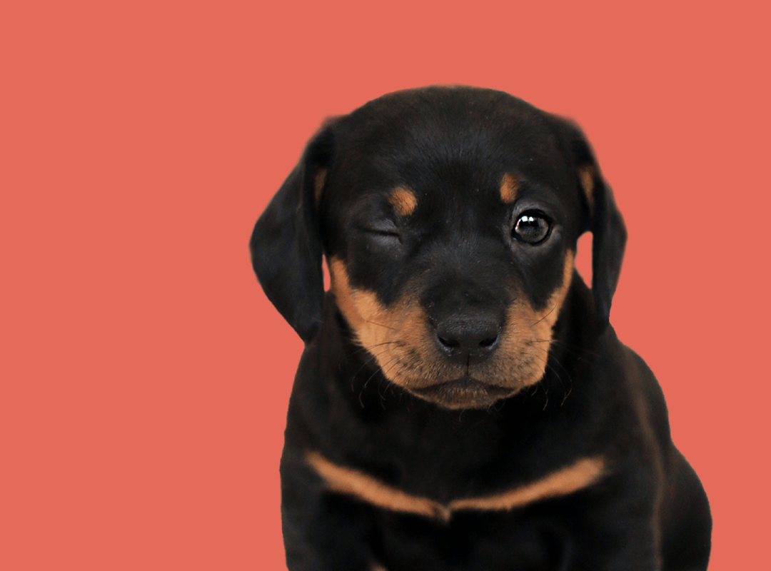hey-muttley-how-to-toilet-train-your-puppy.png