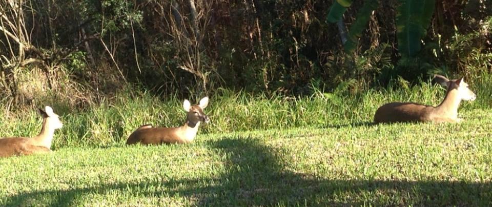 deer-resting.jpg