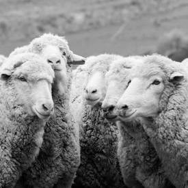 us-materials-sheep-sq_660x275.jpg