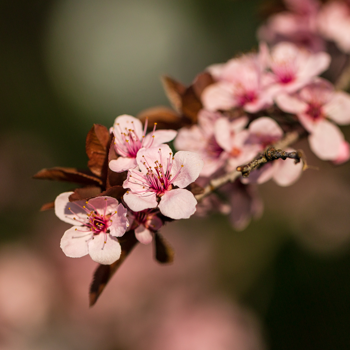 Ornamental almond blossoms