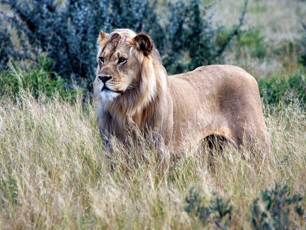 Kalahari-lion.jpg