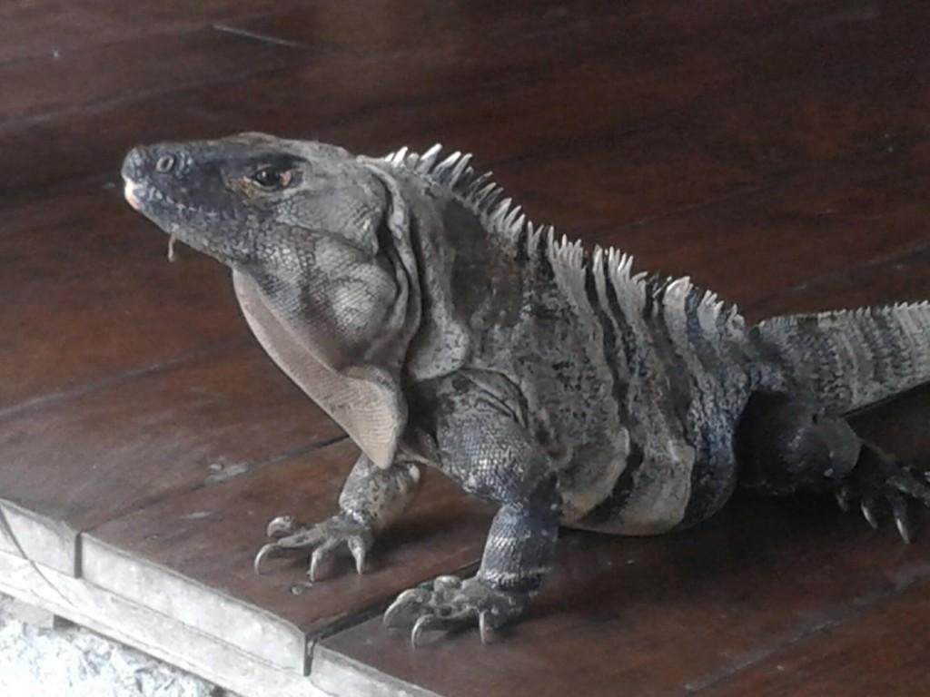 Iguana-1024x768.jpg