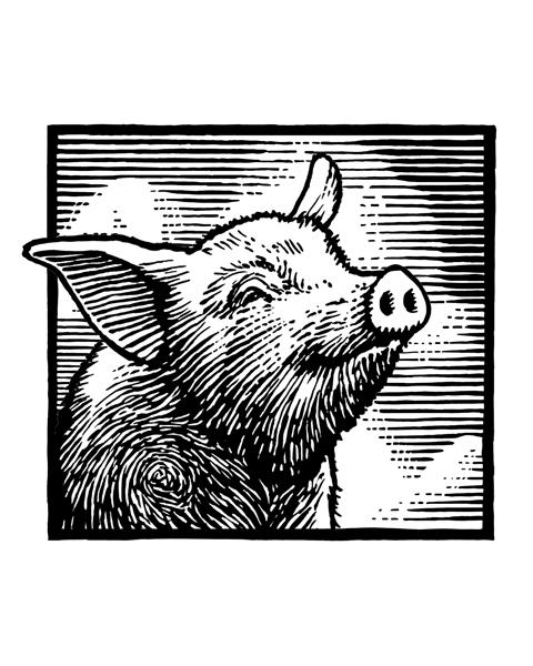 Engraving style pig portrait