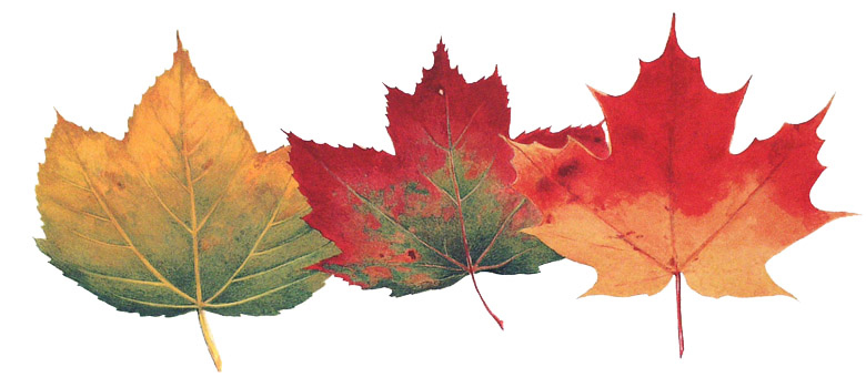 Maples.jpg