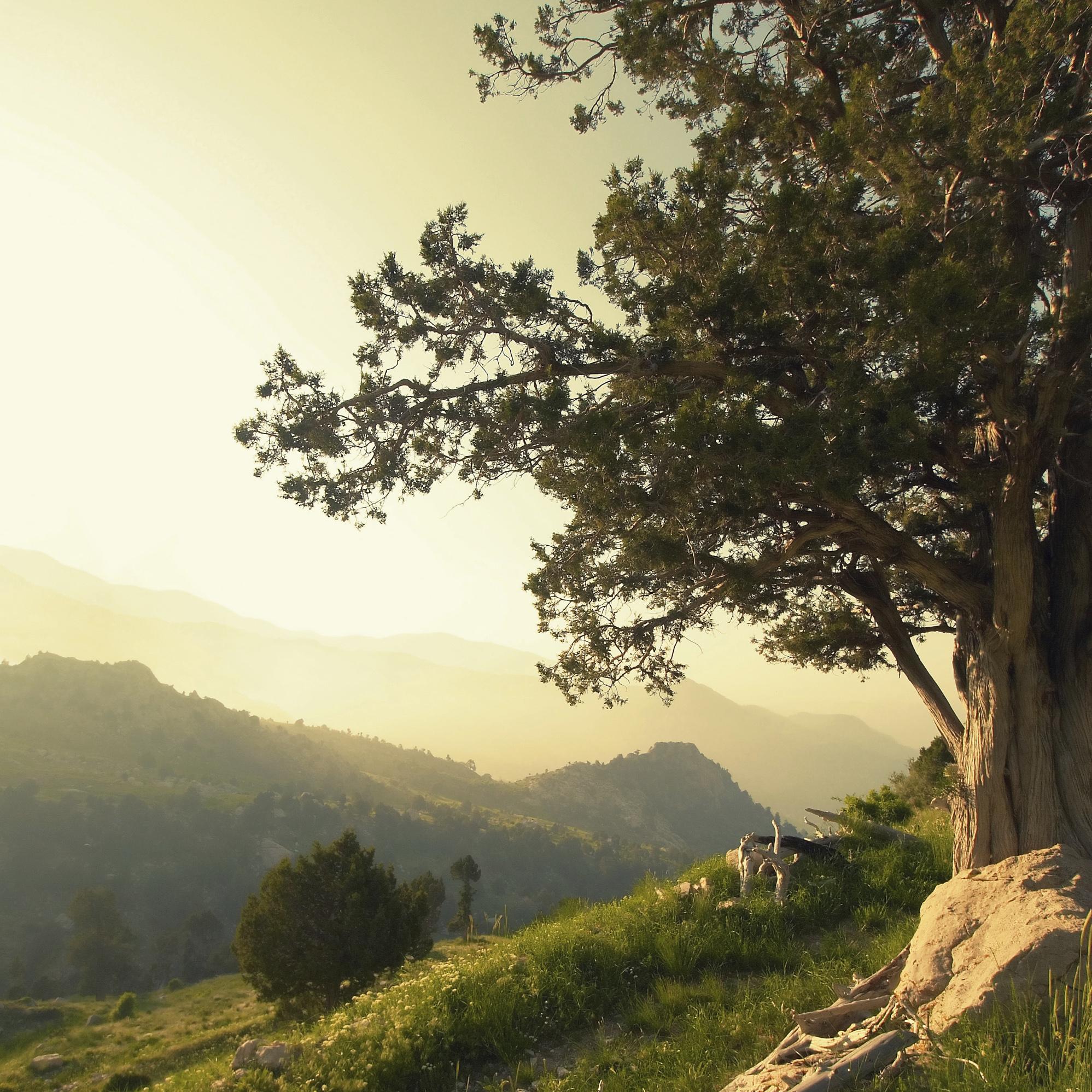 tuscan tree square.jpg