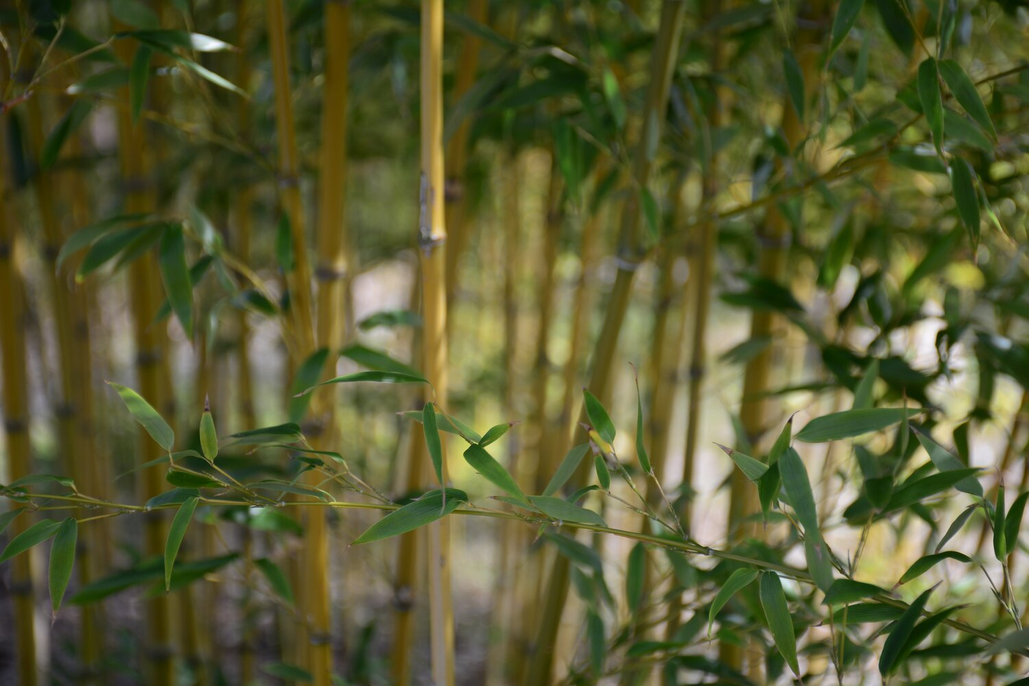 bamboo-quickgrowing-sustainable.jpg