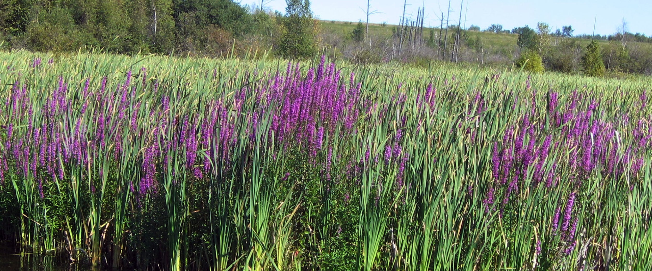 Purple Loosestrife used to be available at many garden centres but it quickly spread to our lakes and streams and is threatening fish and wildlife habitat by replacing native vegetation in Wabamun Lake.