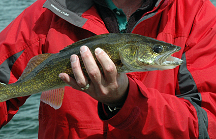 Walleye are a highly sought-after sport fish that have been successfully introduced into Wabamun.