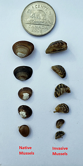 A comparison between freshwater native and invasive mussels (photo credit: AEP)