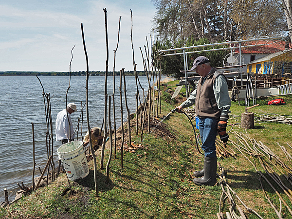 Dave Polster watering the willow saplings planted to stabilize the shoreline on the Taylor property.