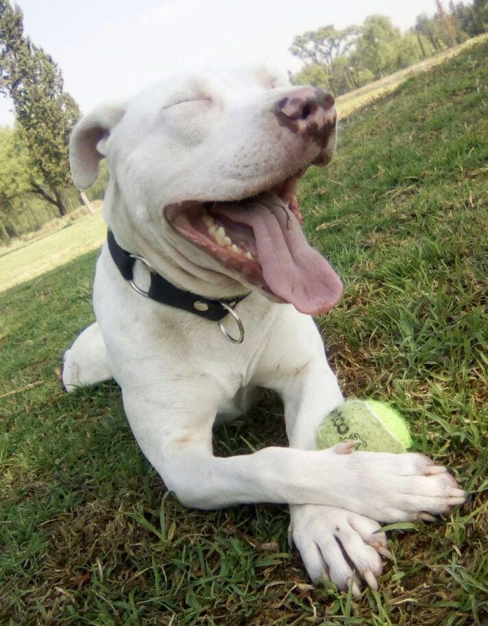 amy pitbull rescue dog mexico city cdmx caravana canina.jpg