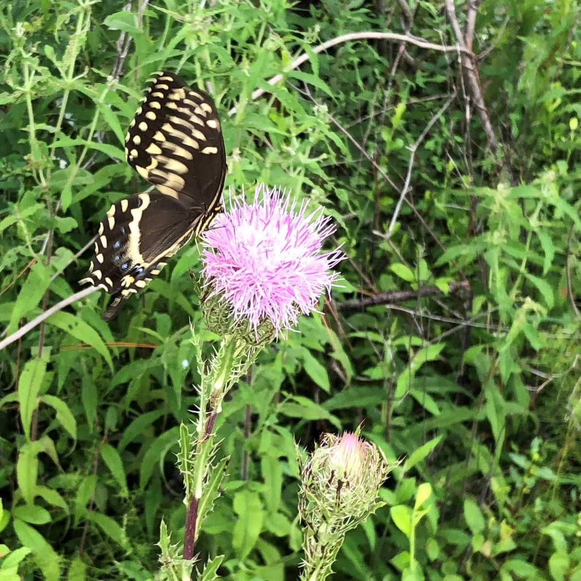 ButterflyOnThistle.jpg