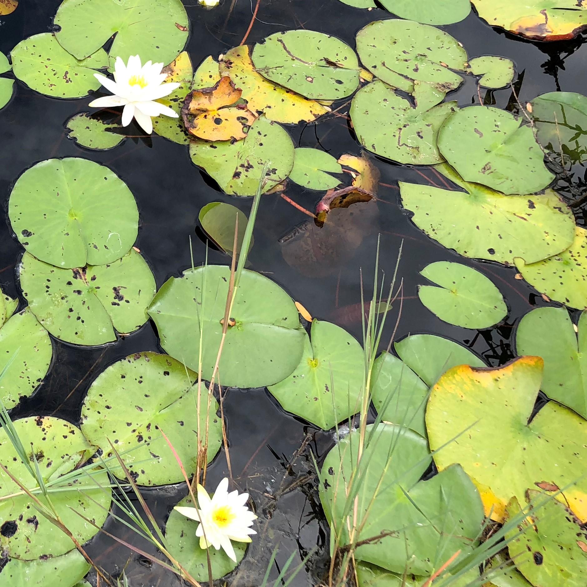 Waterlily050618.jpg