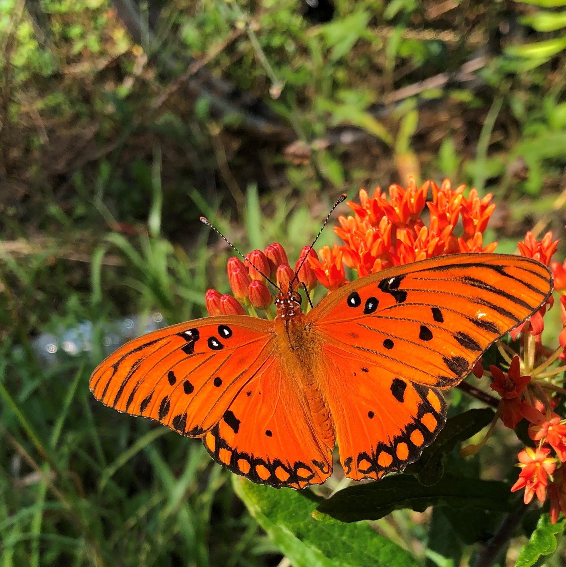 ButterflyweedE051819.jpg