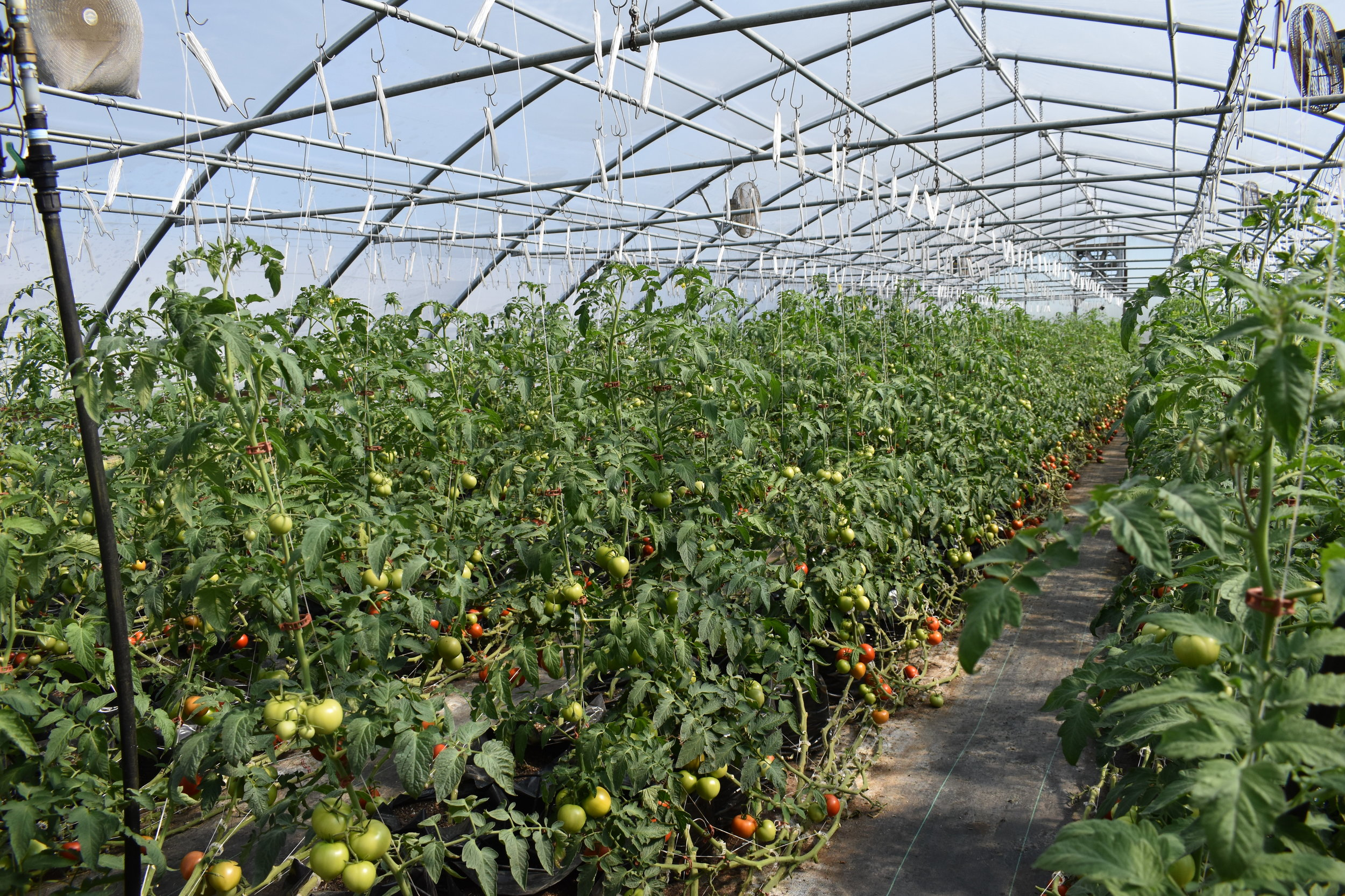 One of the tomato greenhouses