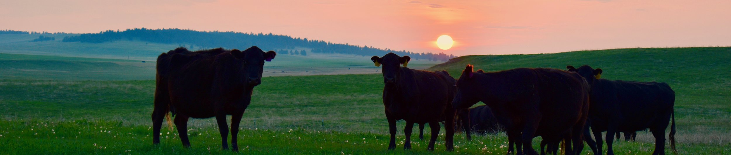 MM Matovich Ranch cattle