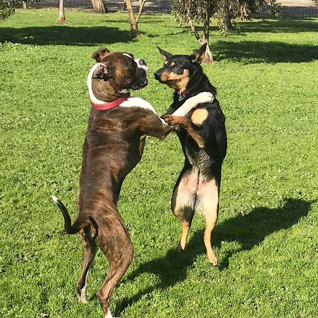 It's just a step to the left, then a step to the right.. put your hands on your hips and bring your knees in tight! 💃🏻 New kid Jodie the Boxer had a fabulous time today dancing with Lucy! #4dogswalking #dancingdogs #gottaloveaboxer