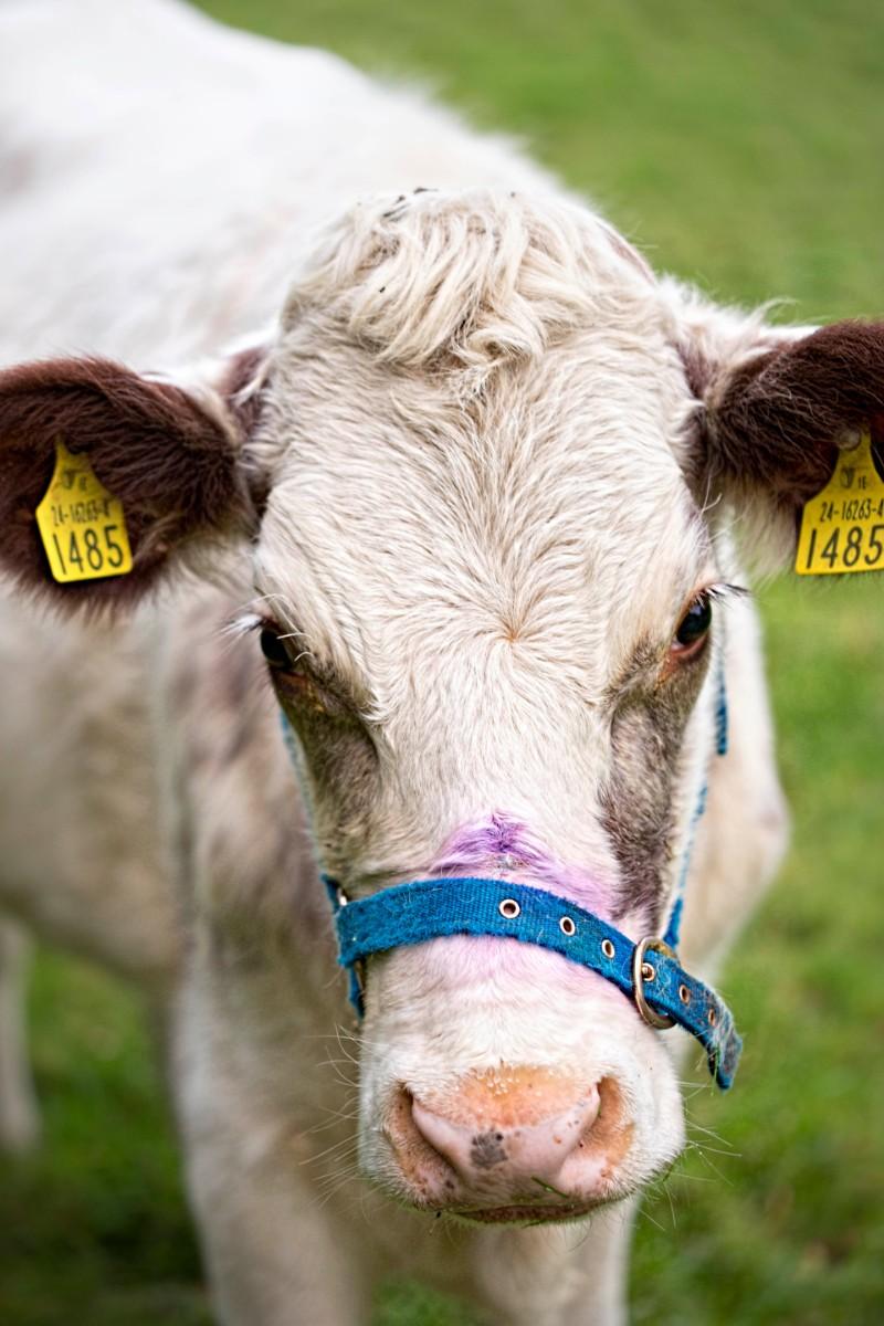 ollys-farm-white-cow.jpg