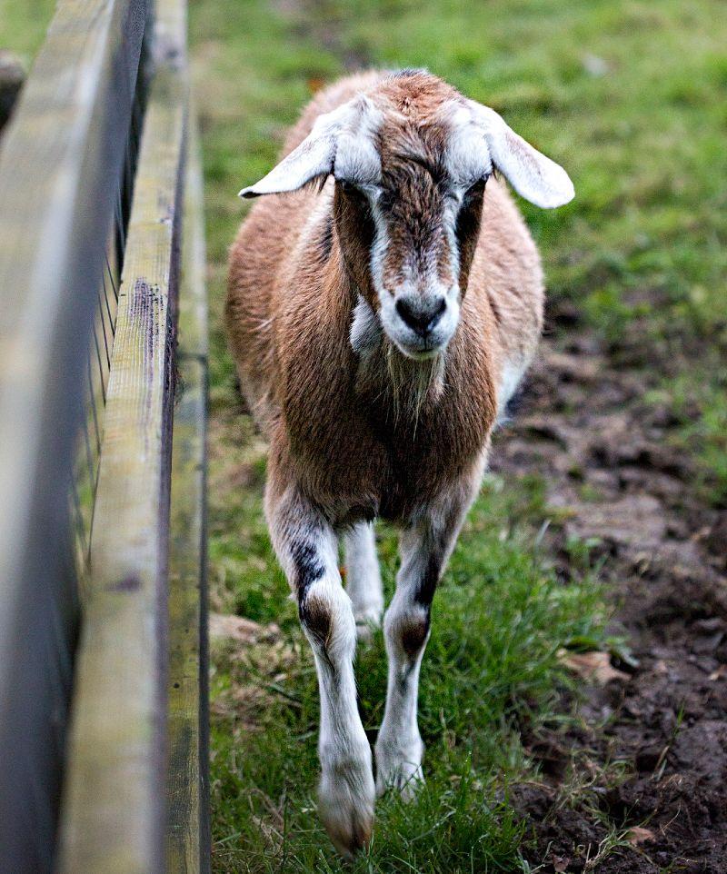 ollys-farm-goat.jpg