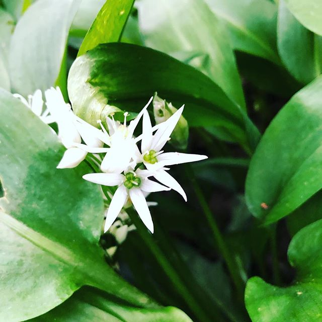 Wild garlic flowers are just starting to bloom!!! Can't wait to see when they are all out!!!!