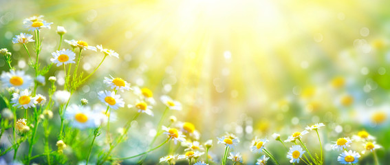 Chamomile in the sunlight. Stunning.