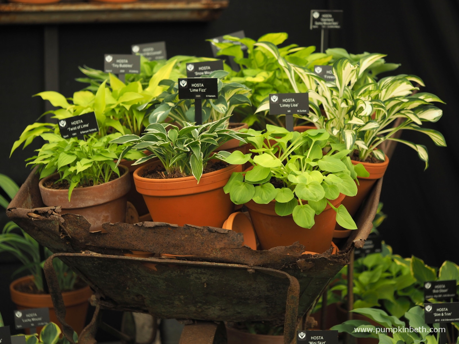 The grandparent's antique wheelbarrow containing gorgeous hostas  Picture courtesy of Beth Otway at Pumpkin Beth