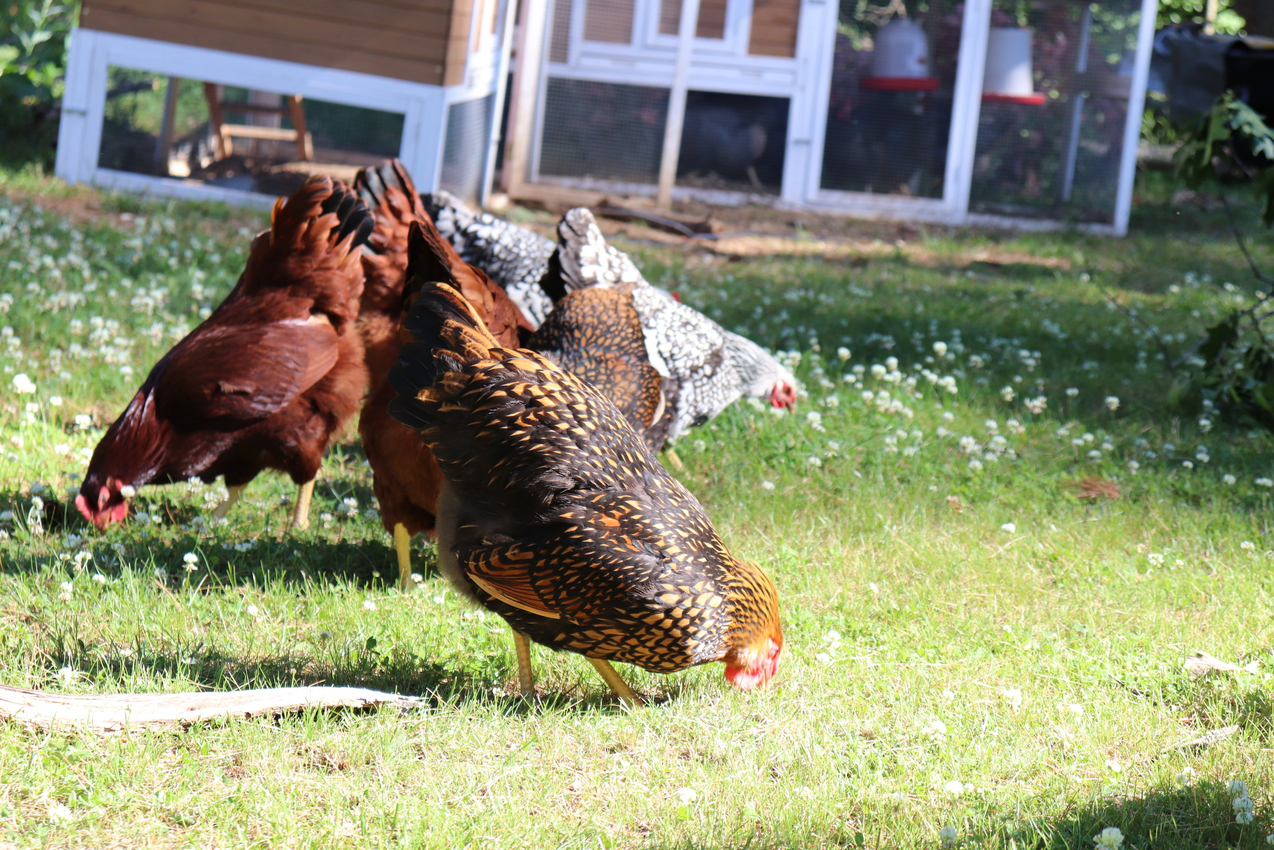 The Hens - Our 10 hens will typically run to the edge of their pen to greet our guests. They are particularly prolific in the warm months and, if you ask kindly, we may send you home with some farm fresh eggs!